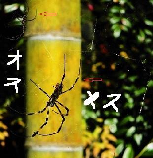ジョロウグモの雌と雄