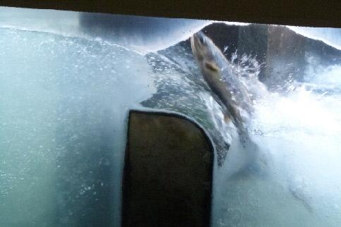 鮭の遡上⑤2013年11月17日撮影