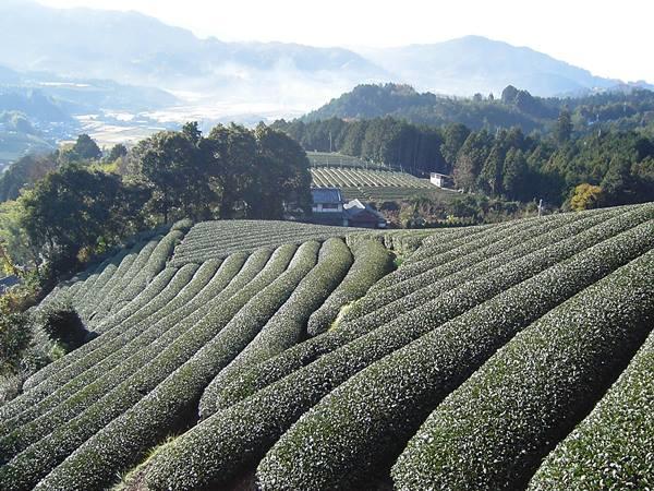 和束町薬師寺のあたりから見はるかす美しい茶畑