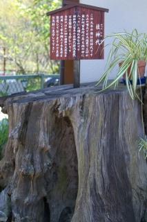 旧東海道:畑宿の「桂神代」