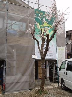 杏の花 (1)