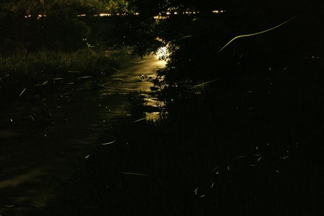 蛍の舞う近所の川